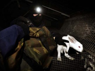 Activist with rescued rabbits